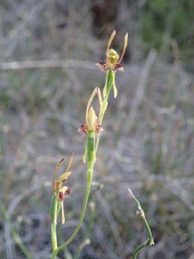Triple headed Hare Orchid