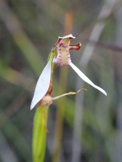 Bunny Orchid