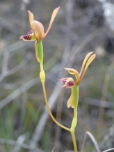 Hare orchid - double