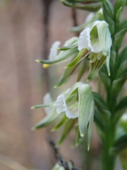 Scented autumn leek orchid - close-up