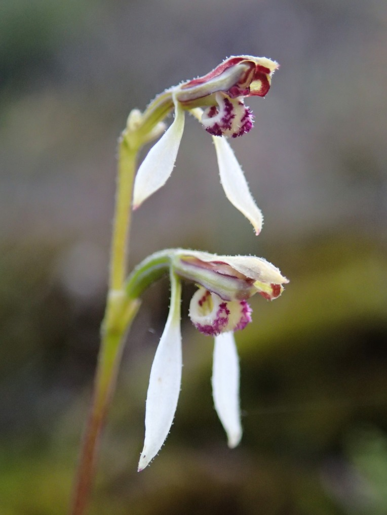 Granite bunny orchid - close-up