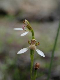 Eriochilus dilatatus subsp. dilatatus