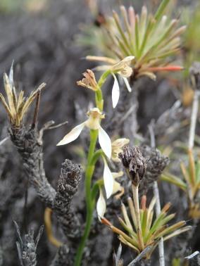 Very pale version - Eriochilus dilatatus subsp. dilatatus