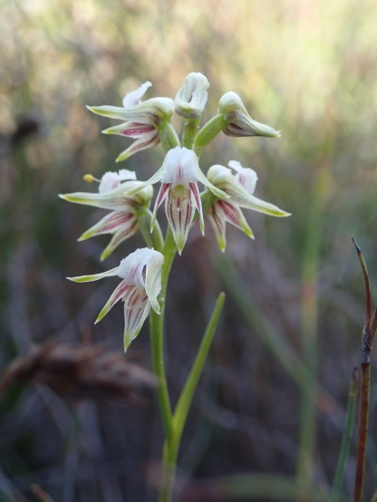 Autumn leek orchid