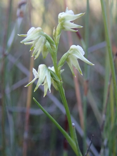 Scented autumn leek orchid