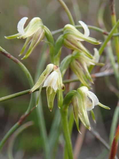 5 flowered specimen