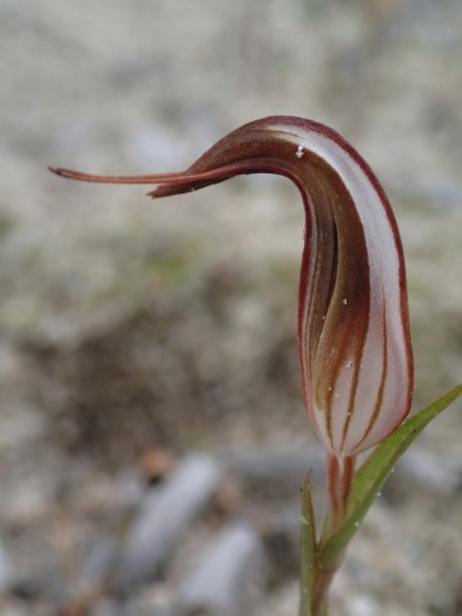 Close-up of yet to fully open shell orchid