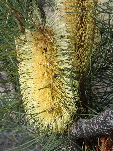 Very large Banksia flower