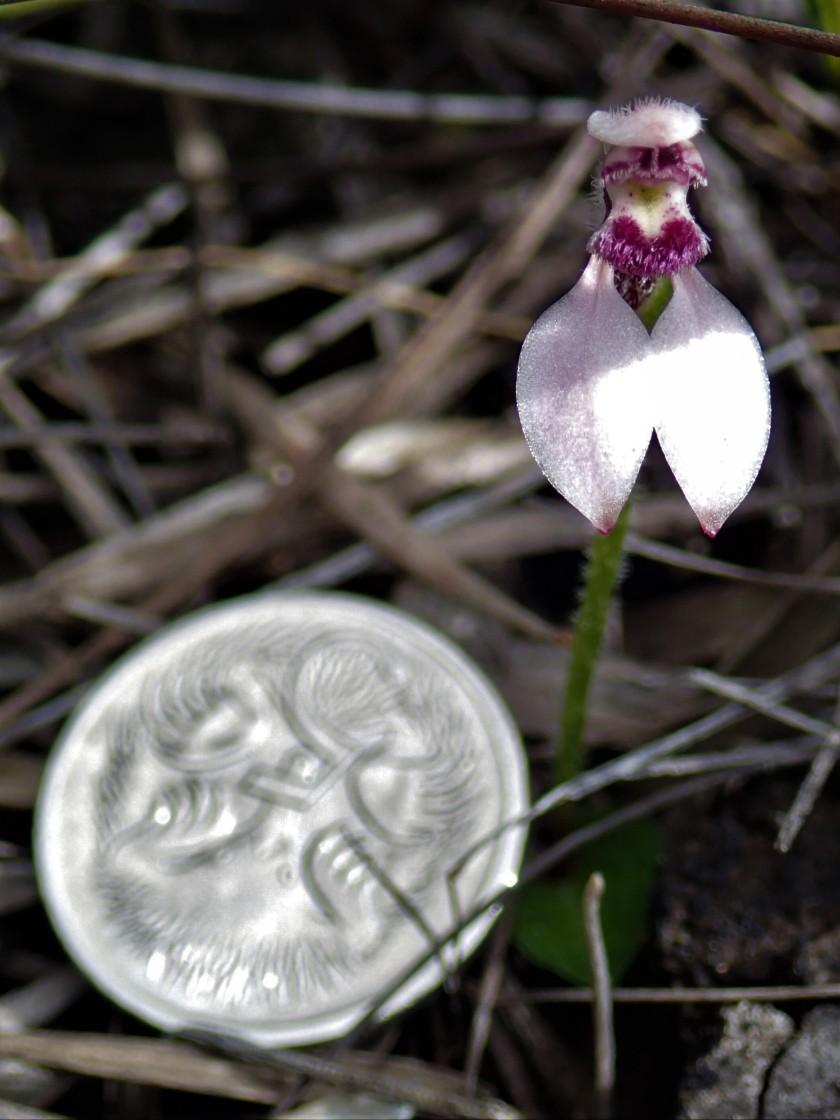 Eriochilus scaber subsp. scaber