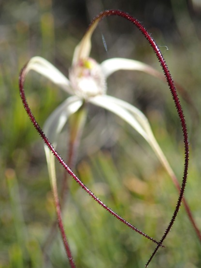 Showing the long sepals and petals