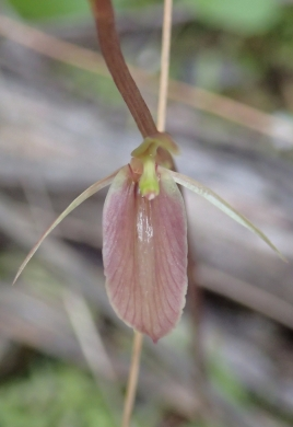 Broad labellum
