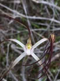 Showing the roughness of the petals and sepals