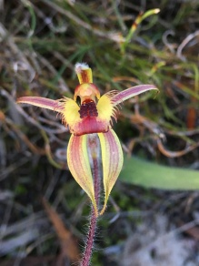 Very long sepals which hang down a brighter colouring