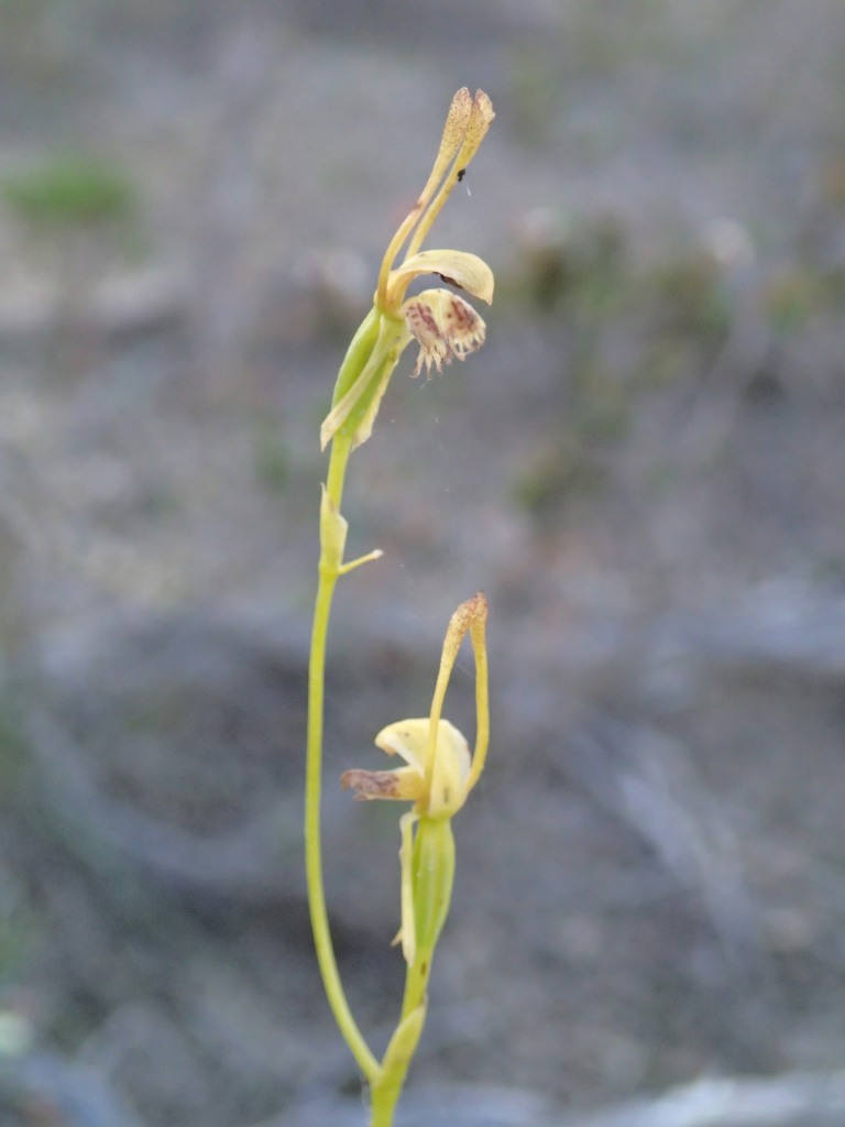 Hare orchid