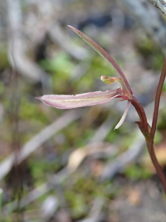 Profile showing pointed labellum