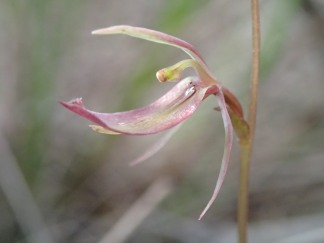 Upturned labellum