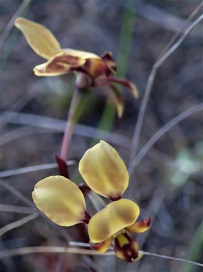 Diuris sp. 'western wheatbelt'
