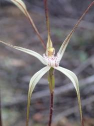 Caladenia vulgata