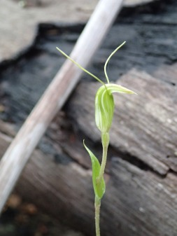 Pterostylis sp. 'crinkled leaf'