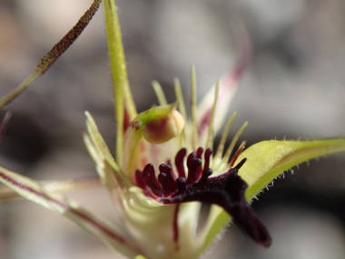 Close-up of labellum showing large red calli