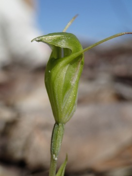 Long erect sepals