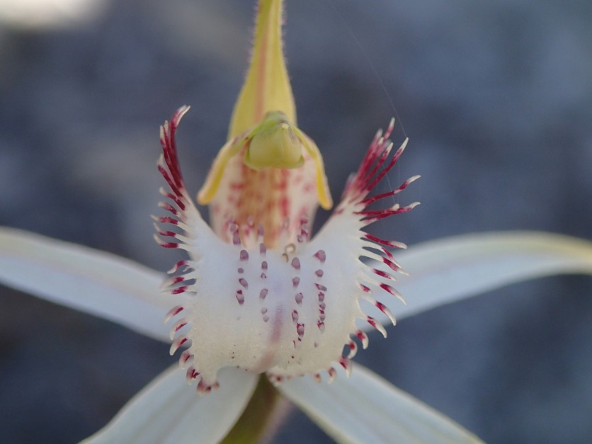 Large white labellum with four rows of calli and narrow fringe segments