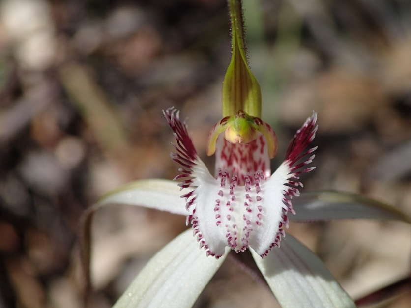 White labellum with long narrow fringe segments