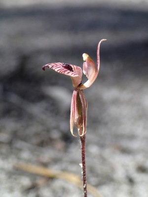 Short, hanging petals and lateral sepals which clasp the ovary