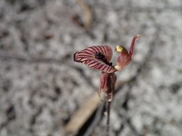 Red-striped labellum with a central band of deep-purple calli and a glandular apex