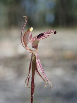 Red striped labellum with dense central band of calli and glandular apex