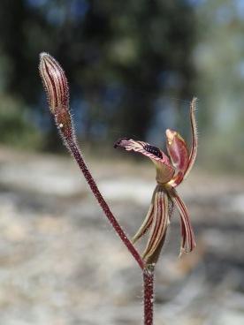Hanging petals and lateral sepals