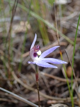 Horizontally spread petals and lateral sepals
