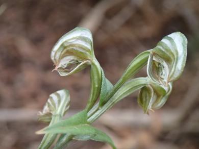 Light green, white banded flowers