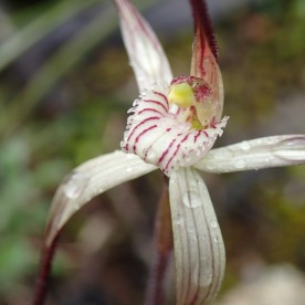 Creamy-white red-striped labellum