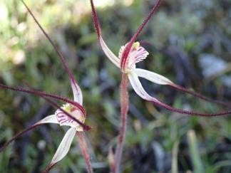 Long pendulous petals and lateral sepals