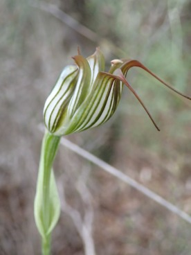 Also called: Recurved shell orchid, antelope orchid and bull orchid