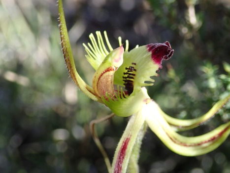 Greenish-yellow, red tipped labellum with comb-like fringe segments