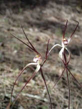 Small, pale white or pale yellow, red-striped labellum