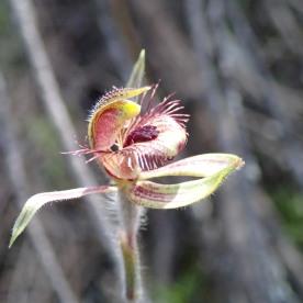 Short, horizontally spreading petals and lateral sepals