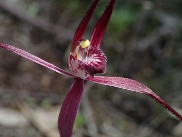 Prominently red-striped labellum with serrate to dentate fringe segments