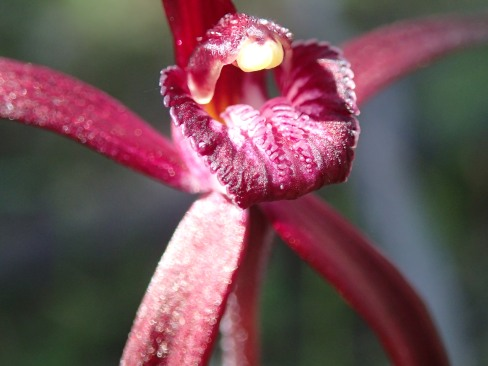 Small blood-red labellum with serrate to dentate fringe segments and tow rows of red calli