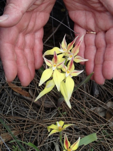 Grouping with long sepals. Deb's hands for size comparison