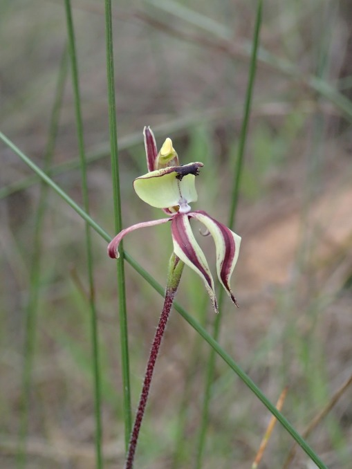 Crucifix shape adopted by the petals and lateral sepals