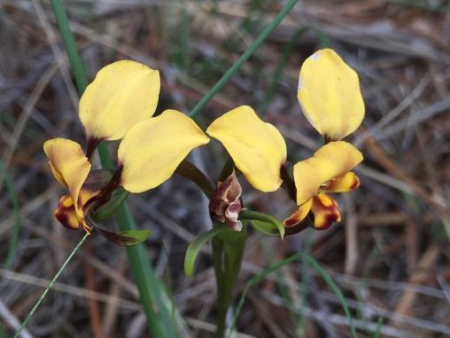 Yellow granite donkey orchid