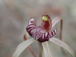 Prominently red-striped, shortly-fringed or smooth-margined labellum