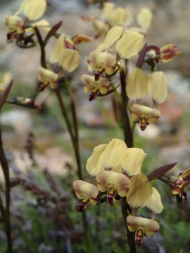 Pale yellow flowers