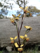 Small flowered donkey orchid 200 to 350 mm high