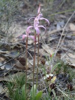 Widespread, clumping orchid