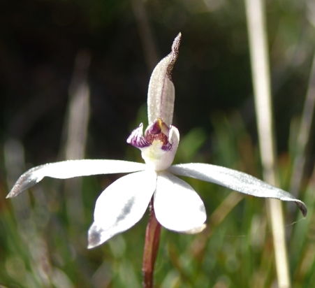 Short spreading petals and lateral sepals.