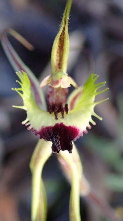 Greenish-yellow, red-tipped labellum with 4 or more rows of deep red calli.